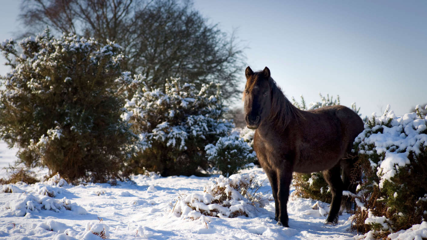 New-Forest-Pony-in-the-snow
